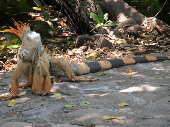 CROCODILE & IGUANAS